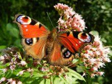 red flowers butterfly wings